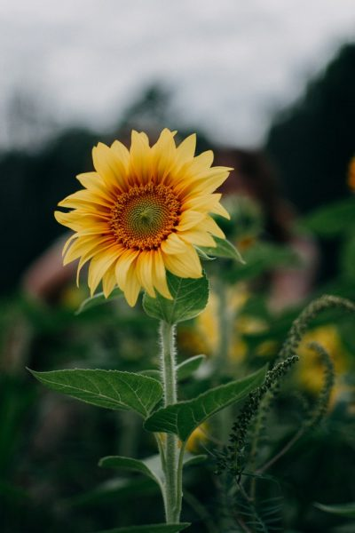 sunflower-selective-focus-photography-1366630